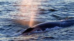 Древните римляни ловували китове в Средиземно море