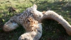 Защитени видове птици измират в Искърското дефиле, вероятно са отровени