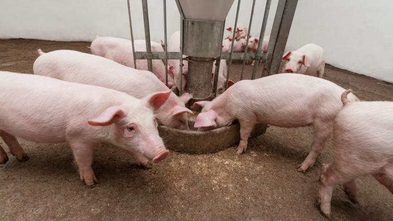 Огнище на Африканска чума по свинете в село Юнец, Варненско