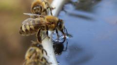 Масово измиране на пчели в Благоевградско