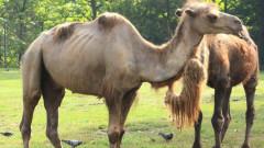 Нова камила дойде в Столичния зоопарк