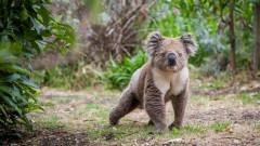 Австралия: Обречени ли са коалите?