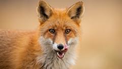 БАБХ започва ваксина на лисиците срещу бяс