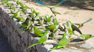 Защо Мадрид започва да избива папагалите си