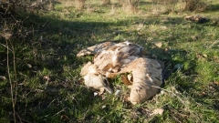 Разследват смъртта на лешояди от защитен вид