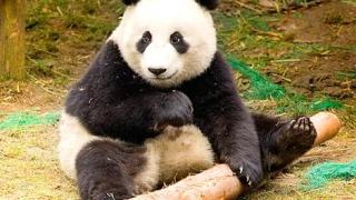 Раждането на панда в Токио накара акциите на два ресторанта да подскочат