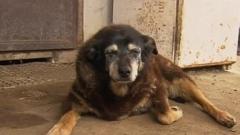 Почина най-старото куче в света – австралийската овчарка Маги