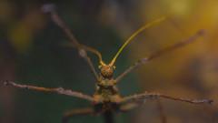 """Невероятната съдба на насекомите """"пръчици"""""""