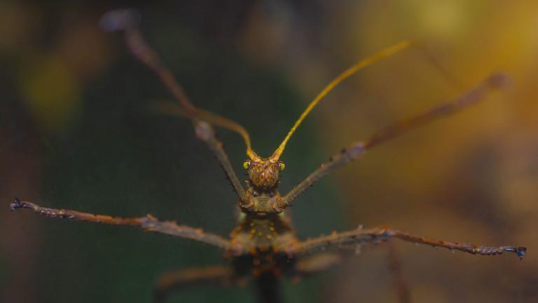 Насекомите от разред Phasmatodea неслучайно са известни с името