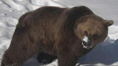 """Само една мечка от """"Белица"""" още не спи зимен сън"""