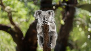 Шокиращата истина за коалите
