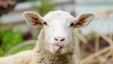 От понеделник изплащат обезщетенията за избитите животни в Ямболско и Бургаско