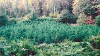 Близо 4 тона марихуана иззеха в Благоевградско