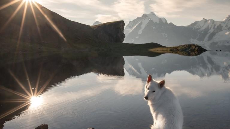 Раста е името на бяло швейцарско овчарско куче с над
