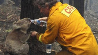2 спасени от пожарите коали-символ на надежда за Австралия
