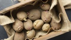 Опасни ли са прорасналите картофи