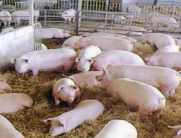 Екоексперти от Шумен провериха свинеферми