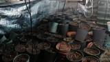 Иззеха около 20 кг марихуана от мазе в Бургаско село