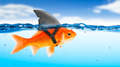 Когато малката златна рибка стане гигант