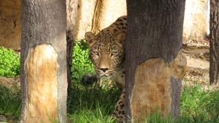 Дали софийският леопард Дан ще устои на тези очи