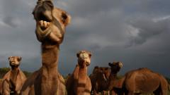 Камилите с ботокс, които ядосаха природозащитниците