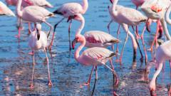 Розовите фламинги все повече харесват България