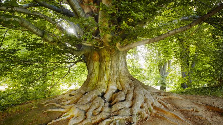 Избираме европейско дърво на 2020 г.
