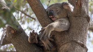 Истината за коалите, за която учените не подозираха