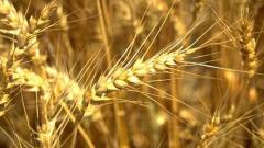 Цените на пшеницата скачат
