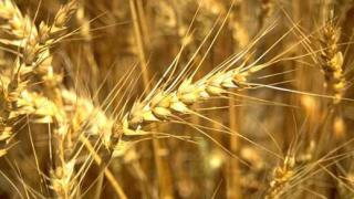 Рекорден добив на пшеница в Добричко