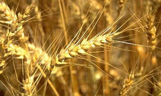 Резултат с изображение за пшеница и брашно