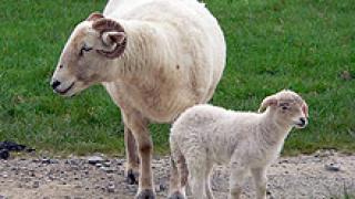 Село Кости не си дава животните