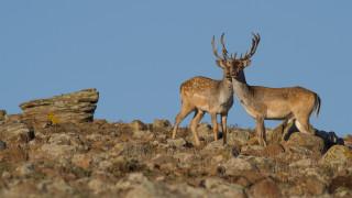 Пазят елените в Източните Родопите от бракониери