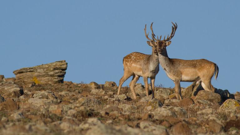Поставиха тестови камери за видеонаблюдение на благородни и елените лопатари