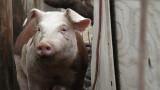 Две нови огнища на чума по свинете в Силистренско