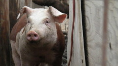 Около 98 000 са евтаназираните прасета в Русенско