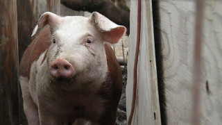 Хванаха укрити прасета в Силистренско
