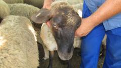 Взимат кръвни проби за заразни болести по животните