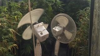 Разкриха домашна наркооранжерия в Костенец