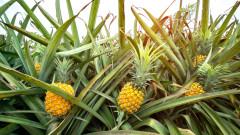 Невероятният втори живот на листата на ананаса