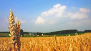 МЗГ: Едва 15% от пшеницата е в добро състояние