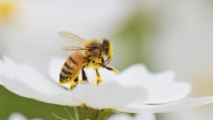 И пчелите замърсяват с микропластмаса
