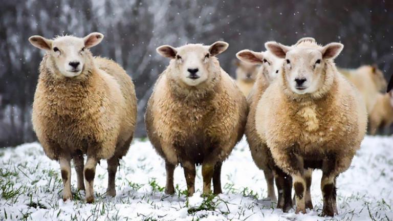 Два случая на ку-треска при овце откриха във видинско