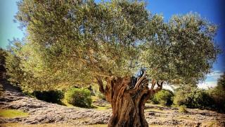 """11 вековни дървета в ПП """"Странджа"""" ще бъдат обявени за защитени"""