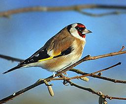 Конфискуваха 30 пойни птици от софийски пазари