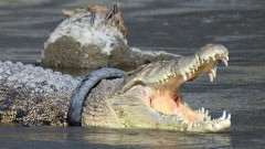 Полицаи срещнаха крокодил в Санкт Петербург