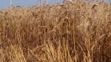 Дъждовете намалиха реколтата от пшеница с 1 милион тона