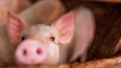 Африканската чума по свинете достигна и до Южна Корея