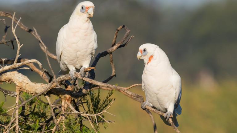 """Десетки птици са загинали и """"падат от небето"""" при подозрение за отравяне в Австралия"""