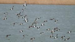 Топлата зима изгони дивите гъски от страната